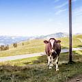 Swiss Cow by Mark Stastny