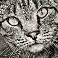 Tabby Cat Black And White by Peggy Collins