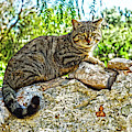Tabby Cat by Digby Merry
