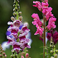 Tall Snapdragons by Robert Potts