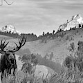 Teton Moose by Mary Hone