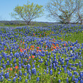Texas Bluebonnets 4 by Andrea Anderegg