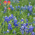 Texas Bluebonnets 5 by Andrea Anderegg