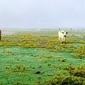 Texas Foghorns by Erich Grant
