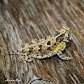 Texas Horned Lizard by Karen Slagle