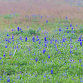 Texas Spring Bluebonnets by Dan Sproul