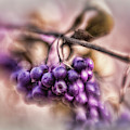 The American Beautyberry by Mary Lou Chmura