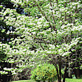 The Beautiful Dogwood  Tree by Trina Ansel