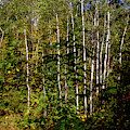 The Birches by William Norton