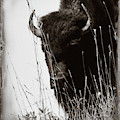 The Bison Roaming The Grasslands In Custer State Park South Dakota United States Of America by Gerlinde Keating - Galleria GK Keating Associates Inc