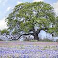 The Bluebonnet Oak by JC Findley