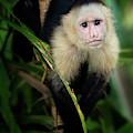 The Capuchin Stare by Darylann Leonard Photography