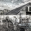The Cows Came Home Black And White by Debra and Dave Vanderlaan