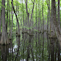 The Cypress Swamp by Susan Rissi Tregoning