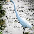The Elegant Egret  by Ricky L Jones
