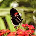 The Fascinating Doris Longwing Butterfly by Kay Brewer