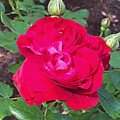 The First Rose by Mario MJ Perron