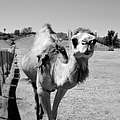 The Gentle Soul - Camel by Glenn McCarthy Art and Photography