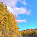 The Golden Tamaracks by David Patterson