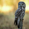 The Great Gray Owl In The Morning by Torbjorn Swenelius