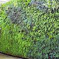 Leafy Green Wall by Bill Swartwout Fine Art Photography
