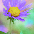 The Last Aster Of Autumn by Anita Pollak