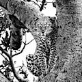 The Leopard Sits In Wait In Black And White by Kay Brewer