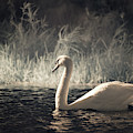 The Lone Swan 3 by Brian Hale