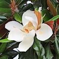The Loveliest Magnolia by Carol Groenen