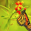The Monarch Butterfly by Kay Brewer