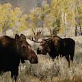 The Moose Rut by Dennis Blum