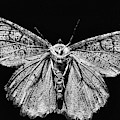 The Moth Black And White by JC Findley