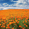 The Poppy Field by Endre Balogh