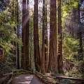 The Redwood Grove by Kristen Wilkinson