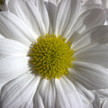 The White Daisy by Siobhan Dempsey