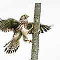 The Young Kestrel Climbing On A Wooden Fence Pole by Torbjorn Swenelius