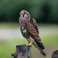 The Young Kestrel Perching On A Wooden Fence Pole  by Torbjorn Swenelius