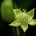 Thimbleweed Flower by KG Photography