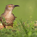 Thrasher In The Grass by David Cutts