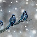 Three Blue Jays In The Snow by Patti Deters