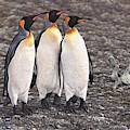 Three Kings - Penguin Portrait By Alan M Hunt by Alan M Hunt