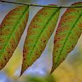 Three Leaves by Mitch Shindelbower