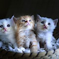 Three Little Kitties by Top Wallpapers