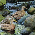 Three Mallard Ducks Swimming In A Stone Filled Brook. by Rusty R Smith