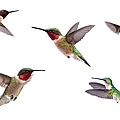 Three Ruby Throated Hummingbirds by Cglade