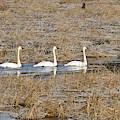 Three Trumpetor Swans 0629 by Michael Peychich