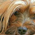 Tiberan Terrier  -  Dwp206791 by Dean Wittle