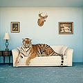 Tiger On Sofa Under Animal Trophy by Matthias Clamer