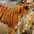 Tiger Pose by D Hackett