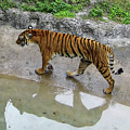 Tiger Reflections by D Hackett